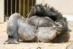 2016-08-11-12h03m56.BL7R8573 (A.J. Haverkamp) Tags: canonef100400mmf4556lisiiusmlens amsterdam zoo dierentuin httpwwwartisnl artis thenetherlands gorilla akili pobfrankfurtgermany dob16101994 penis