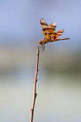 Halloween pennant (cheryl.rose83) Tags: dragonfly odonata insect halloweenpennant