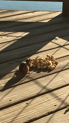 IMG_8051 (Marshen) Tags: squirrel peanuts