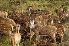Deers at Bandipur !! [Explored-July-21-2016] (pankaj.anand) Tags: deer deers bandipur road trip bangalore roadtrip deersonroad deerscrossingroad green greenery canon60d bandipurnationalpark nationalpark