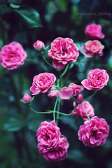 (Anne takes photos) Tags: flowers light roses flower nature analog canon photography little bokeh makro 55250