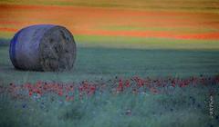 Soft (Rizzi Andrea) Tags: canon fotografia fiori colori umbria castelluccio sibillini fioritura