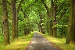 the oaks (JoannaRB2009) Tags: oaks dęby alley avenue aleja path road light shadow trees nature landscape polska poland green dolnyśląsk lowersielsia dolinabaryczy riverbaryczvalley summer forest ponds