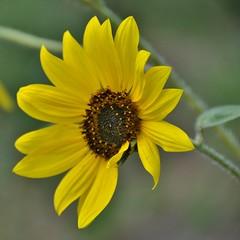 Asymmetric sunflower - Umbria (stevelamb007) Tags: italy umbria sunflower flower asymmetric stevelamb nikon d90 nature