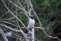 Butcher Bird (Aviator195) Tags: nikon nikond7100 d7100 butcherbird bird butcher tree leaves feather eyes eye beak twig twigs branch perched wildlife wild life nature flora fauna animal avian northernbeaches sydney australia