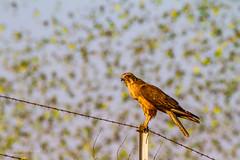IMG_0298.jpg (Paul Williams www.IronAmmonitePhotography.com) Tags: bird budgerigar summer murmuration dryseason melopsittacusundulatus australia