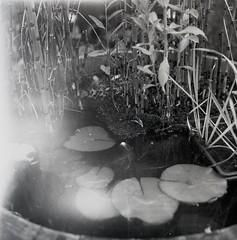 Microcosm (sandrovonah) Tags: mediumformat 120 lightleak damaged hasselblad hassi 120film film bw blackwhite analog ilford ilfordhp5 ilfordhp5400 hp5 monochrome monobath surreal carlzeiss carlzeissplanar planar80mm hasselblad500c planar80mmf28 hasselblad500 lillies lilly waterlilly waterlillies microcosm
