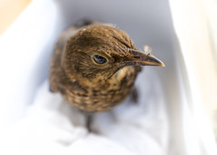 Rescued (Sheldrickfalls) Tags: blackbird turdusmerula commonblackbird juvenileblackbird warmington northants northamptonshire england uk