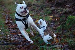 Dash and Brick, grandad and grandson.Friends 4 life (alokD7200) Tags: pup puppy hund hond nikon d50 nederland pet ogen crazyeyes eyes lovemydog lovemydogs happydog dogs playing playingdogs play fun earlmorning 2015 friend bestevriend bestfriend