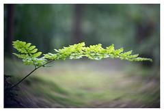 Fern _ 2 (leo.roos) Tags: fern varen a7s swirly herperduin brabant noordbrabant lensbabytwistoptic6025 lensbabycontrolfreak lensbabys lensbabies darosa leoroos