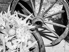 Wheel (and Cactus) (DomiKetu) Tags: wheel cactus bw black blackandwhite blackwhitephotos blackwhite ir infrared 850nm panasonic tz10 garden