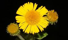 Common Fleabane - Pulicaria dysenterica  120816 (2) (Richard Collier - Wildlife and Travel Photography) Tags: flora flowersenglishflowers flowers wildflowers macro macroonblack british 2 common fleabane yellow