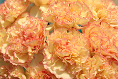 Peach Kissed Carnations (bigbrowneyez) Tags: carnations flowers blossoms flickrpeachy ruffles macro delghtful petals lovely pretty sweet fiori fleurs dolce fresh conolences gift regalo peachy peachkissedcarnations silvana nature detalls thoughtful glow glowing dof kissed baci elegant fancy kindness love thoughtfulness peachfaced inmemoryof mix peace serene