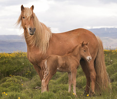 sold and Tristan (Anna.Andres) Tags: iceland sland slenskihesturinn icelandichorses horses horse mare foal sold tristan animal outdoor canoneos70d annagumundsdttir