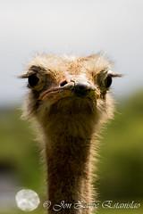 Wild look (Jon Zazpe) Tags: ostrich avestruz wild look zoo cabarceno cantabria tamron 70300 looking eyes face wildlife animal animales nature naturaleza aves ngc