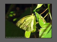 Butterflies-Thailand (Douglas Dew butterflies) Tags: yellow orange tip ixias pyrene