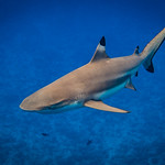 Blacktip Shark thumbnail