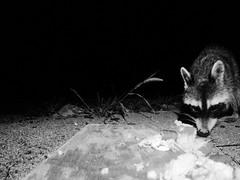 Raccoon - Pigeon Forge, Tn (markkoeberle) Tags: photohopexpress gopro wildbirdstennesseepigeonforgewildlifebirdsnaturephotography wildlife nature tennessee cabin photgraphy