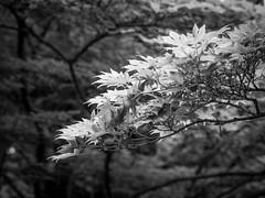 Zweig (olipennell) Tags: baum botanischergarten mnchen nymphenburg