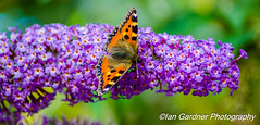 SMALL TORTOISESHELL BUTTERFLY (IAN GARDNER PHOTOGRAPHY) Tags: aglaisurticae butterfly brown black whitespot smalltortoiseshell thegalaxy allnaturesparadise