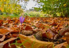 Autumn crocus (markhortonphotography) Tags: kew surrey autumncrocus markhortonphotography gardens grass royalbotanicgardens leaflitter crocus fall kewgardens thatmacroguy