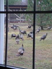 Wild Turkeys (BirdWatcher6723) Tags: 2003 birds nature turkeys unitedstates missouri buffalo wildturkeys wildlife