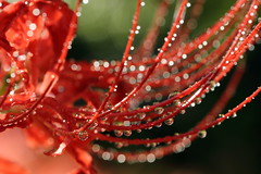 shiny drops. (cate) Tags: flower red spiderlily    drops droplets