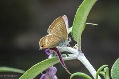 Long-tailed blue (Yorkey&Rin) Tags: 10月 2016 autumn butterfly japan kanagawa longtailedblue neighborhood october olympus pa160007 rin sh2 ウラナミシジミ 近所の花壇 秋 ngc npc