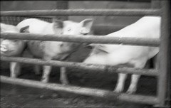"Margaritas ante porcos ... ;/)  -10 "" Korsun' "" (schyter) Tags: 10 zorki 10 kmz soviet camera 63 industar63 2845 lens kodak tmax 100 automatic mode exposure tank ap compact epson v600 industar 63 film pellicola 135 35mm analogica analogic bn bw homemade development homemadescanned allaperto adox adonal 125 20c bianconero blackwithe bianco e nero basiasco lodigiano lodi monocromo animali maiali"