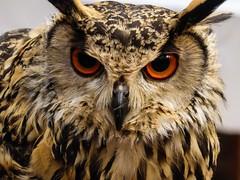 Owl At The Moon (Douguerreotype) Tags: japan owl bird eyes feathers face beak raptor predator