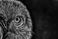 The Eye (Sbastien Turpin Photography) Tags: bird oiseau rapace vautour vulture buitre avvoltoio ucceloo bec becco pico beak geier vogel oeil regard look eye eyes face plumes hairs yeux augen assehen bokeh noir et blanc black white animal eos 7d 70300 70300mm canon you can charogard portrait charognard ojos