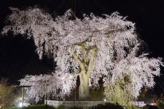 """Japan-1-0042- kyoto - sakura (david """"Djannis"""") Tags: japan japon kyoto cerisier  cherry tree  night nuit   sakura higashiyama"""