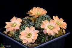 Rebutia pygmaea (clement_peiffer) Tags: rebutia pygmaea d7100 105mm nikon cactus fleurs flower cactaceae succulent peiffer clement flowerscolors