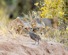 Yellow-necked Spurfowl (Photobirder) Tags: yellowneckedspurfowl lions samburu kenya eastafrica