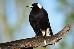 Magpie (Luke6876) Tags: australianmagpie magpie butcherbird bird animal wildlife australianwildlife