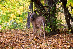 Morning visitor (tmo222) Tags: morning wildlife deer autumn fall