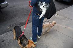 NYC streets DSC_9488 (Nina Roberts) Tags: nyc newyorkcity newyorkcitystreets dogs dogwalker doginabag dogsinbags papillon