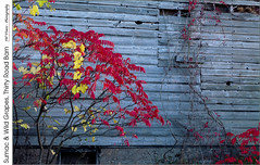 Sumac & Wild Grapes, Thirty Road Barn (jwvraets) Tags: grimsby thirtyroad barn autumn fall weathered sumac wildgrapes red yellow redrule opensource rawtherapee gimp nikon d7100 tamron90mmf28macro11