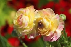 IMG_7269 Yellow-pink roses (Rodolfo Frino) Tags: rose roses pinkrose yellowrose yellowpinkrose gardening garden red redbackgouund depthoffield dof petal petals