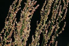 Rumex (lincerosso) Tags: piante pianteerbacee pianteinfestanti piantenitrofile romicecrespo rumexcrispus infiorescenza luce estate bellezza armonia eleganza