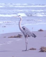 Great Blue Heron (BirdWatcher6723) Tags: 2011 beaches birds greatblueherons gulfs herons nature padreisland ruddyturnstones texas turnstones unitedstates water wildlife ardeaherodias