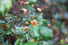 Green and brown (Magreen2) Tags: primoplan5819 bokeh hortensia petal leaf green brown oldlenslight colours lichtfarben grn braun hortensie bltenblatt verblht