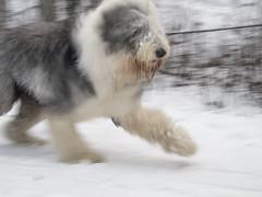 (bristolowl) Tags: dog english alaska canon sheep anchorage theo g12