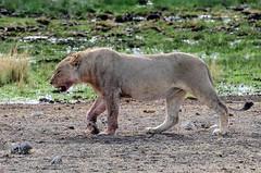 namibie-60 (stephanelhote) Tags: animaux parc etosha afrique namibie éléphants zambie himbas guépards