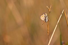 IMG_6944 (adrien.pcctt) Tags: papillon insecte argusbleu