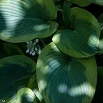 Greenbelt, hosta sp, roosevelt center, variegated, jdy139 XX200905190239.jpg thumbnail