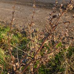 Artemisia vulgaris (DigPeter) Tags: uk england flora unitedkingdom naturalhistory subject asteraceae wildplants floweringplants taxa hants winterplants peterphoto ibthorpe artemisiavulgaris hurstbournetarrantparish