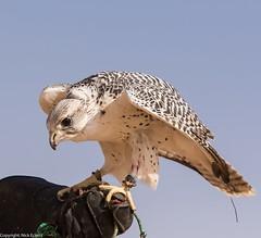 8Q2A1324_DxO (maskirovka77) Tags: dubai desert hunting beak raptor owl falcon hood sharjah unitedarabemirates falcons raptors avian barnowl hunt birdsofprey lure birdofprey falconry talons natureconservancy stooping falconeer peregrinefalcon gyrfalcon pergrine falconexperience alshuwaib arabiandeserteagleowl royalshaheen clawsarabiandeserteagleowldubainatureconservancypergrineraptorsroyalshaheenbirdofpreybirdsofpreyfalconfalconexperiencefalconsowlraptoralshuwaibsharjahunitedarabemirates