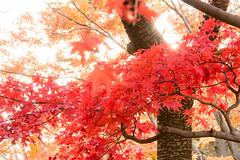 DSC_7871.jpg (d3_plus) Tags: park street autumnfoliage sky nature japan garden scenery outdoor fine sunny 日本 streetphoto yokohama 紅葉 自然 空 横浜 風景 j4 公園 三渓園 sankeien 路上 sankeiengarden ストリート 晴れ ニコン nikon1 屋外 路上写真 1nikkorvr10100mmf456 ニコン1 nikon1j4 ニコンワン