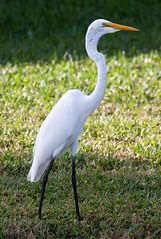 _AAB0124.jpg (Lake Worth) Tags: bird nature birds animal animals canon wings florida wildlife feathers wetlands everglades waterbirds southflorida 2xextender sigma120300f28dgoshsmsports